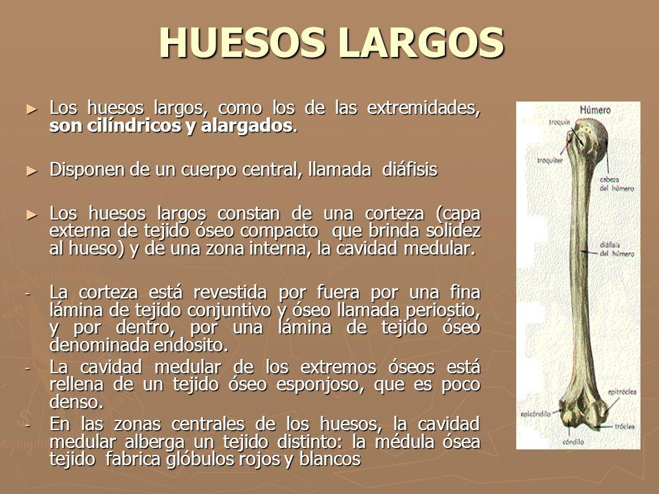 ARTICULACIONES DEL CODO Y RODILLA Móviles y en bisagra : las del codo y la rodilla.