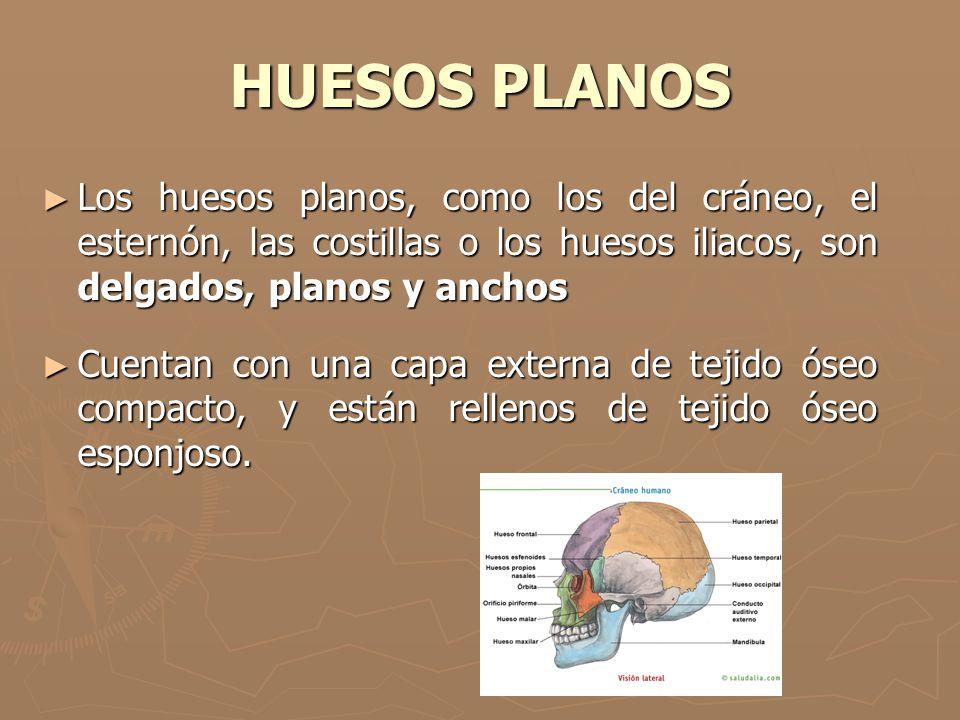 HUESOS PLANOS Los huesos planos, como los del cráneo, el esternón, las costillas o los huesos iliacos, son delgados, planos y anchos Los huesos planos