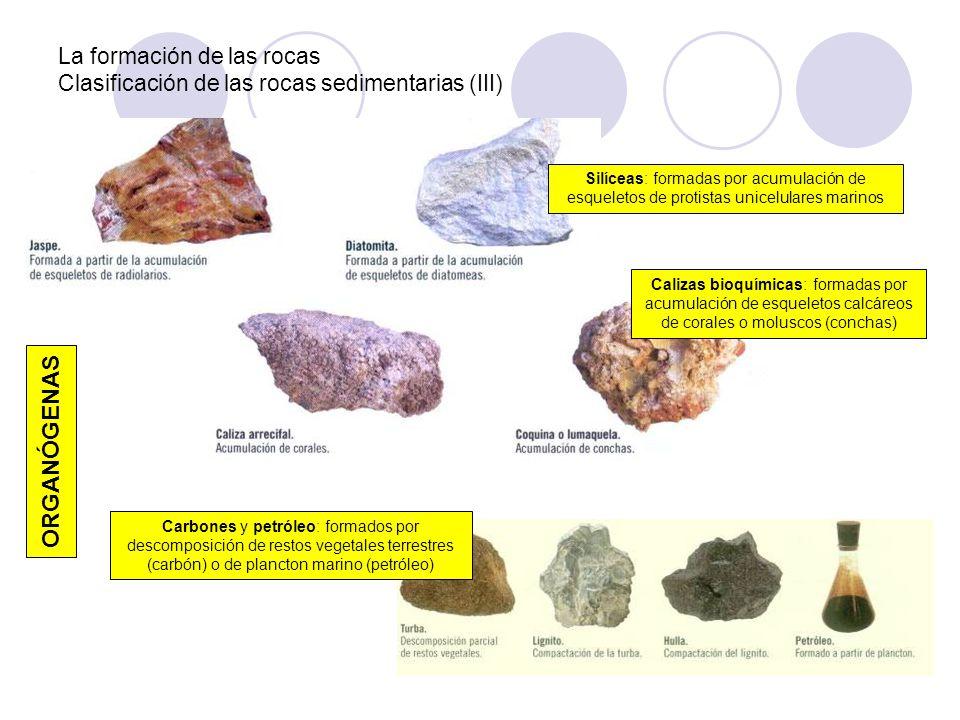 La formación de las rocas Clasificación de las rocas sedimentarias (III) ORGANÓGENAS Silíceas: formadas por acumulación de esqueletos de protistas uni