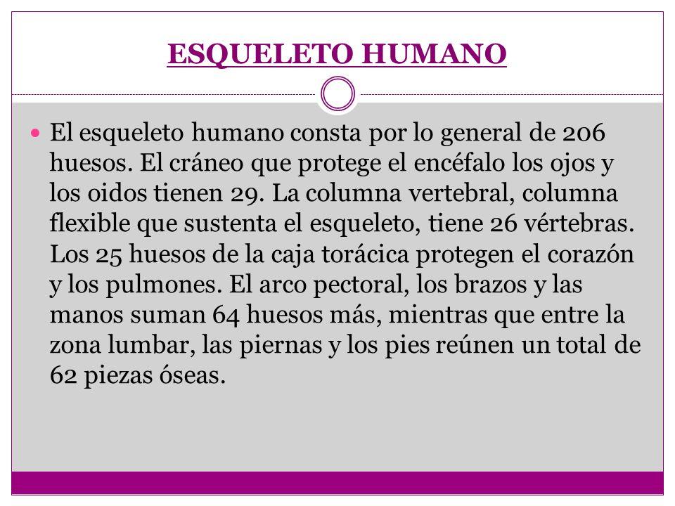 ESQUELETO HUMANO El esqueleto humano consta por lo general de 206 huesos. El cráneo que protege el encéfalo los ojos y los oidos tienen 29. La columna