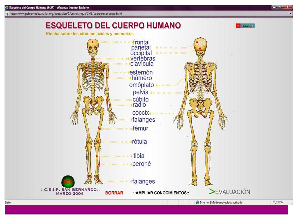 CABEZA ÓSEA La cabeza ósea -popularmente calavera- es el conjunto de huesos que forman el esqueleto de la cabeza; rodean y protegen al encéfalo y los órganos de los sentidos y contiene al aparato de la masticación.