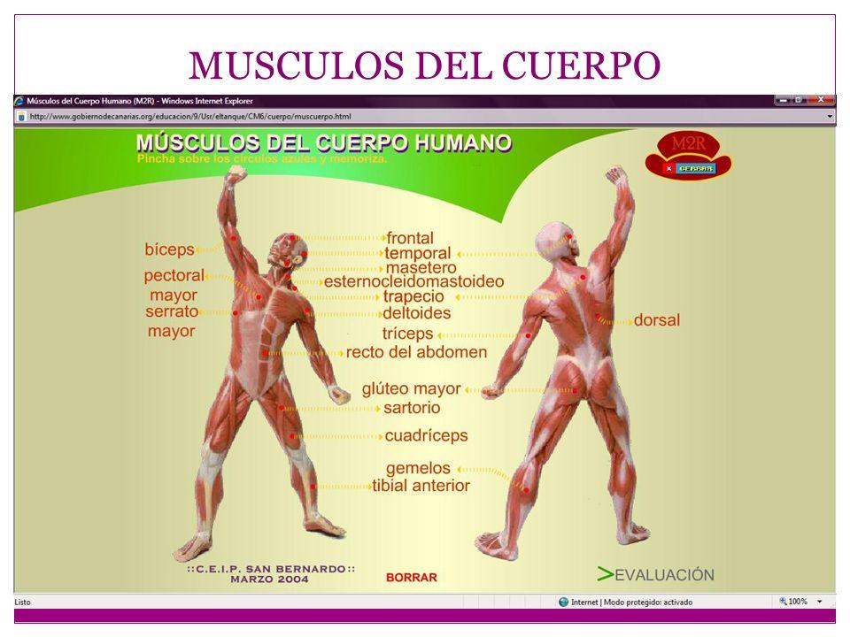 MUSCULOS DE LA CABEZA MUSCULOS MASTICADORES MUSCULOS CUTANEOS Músculos masticadores, 4 a cada lado.