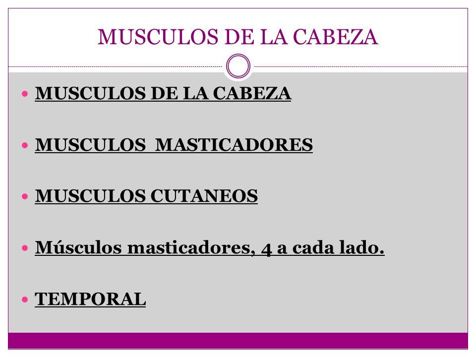 MUSCULOS DE LA CABEZA MUSCULOS MASTICADORES MUSCULOS CUTANEOS Músculos masticadores, 4 a cada lado. TEMPORAL