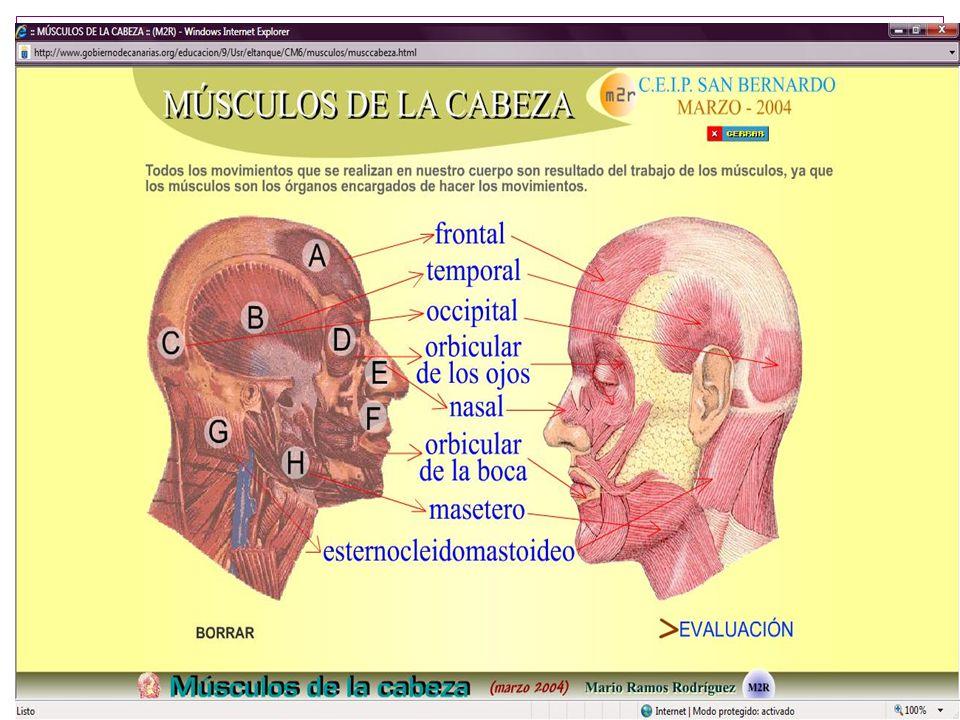 CORAZON En anatomía, el corazón (de un derivado popular del latín cor, cordis) es el órgano principal del aparato circulatorio.
