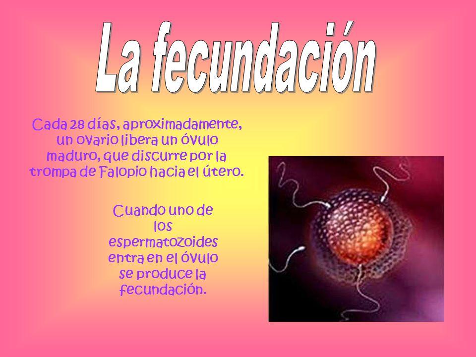 Cuando uno de los espermatozoides entra en el óvulo se produce la fecundación. Cada 28 días, aproximadamente, un ovario libera un óvulo maduro, que di