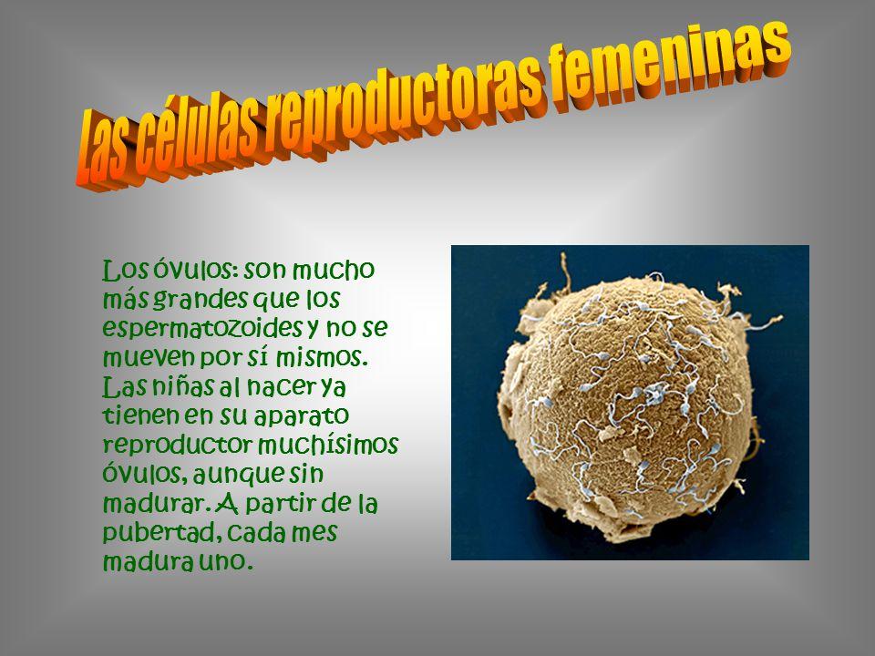 Los óvulos: son mucho más grandes que los espermatozoides y no se mueven por sí mismos. Las niñas al nacer ya tienen en su aparato reproductor muchísi