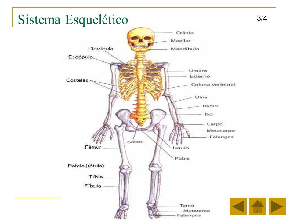 Sistema Esquelético Los huesos tienen diferentes formas y tamaños de acuerdo a su función.
