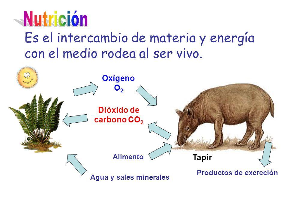 Es el intercambio de materia y energía con el medio rodea al ser vivo. Tapir Oxígeno O 2 Dióxido de carbono CO 2 Agua y sales minerales Alimento Produ