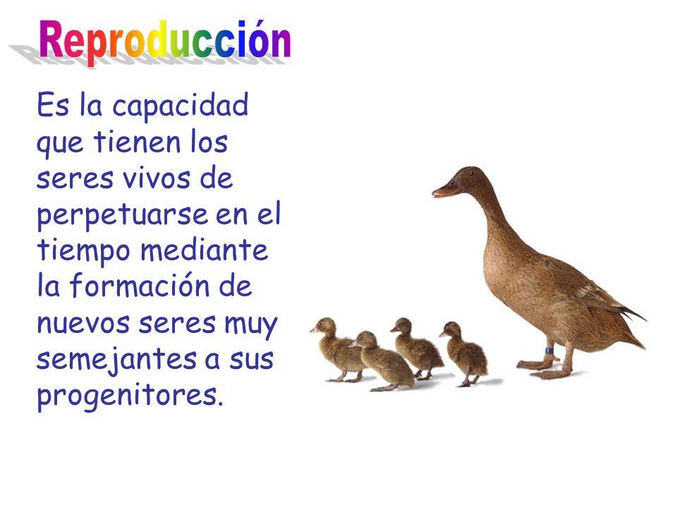 Es la capacidad que tienen los seres vivos de perpetuarse en el tiempo mediante la formación de nuevos seres muy semejantes a sus progenitores.