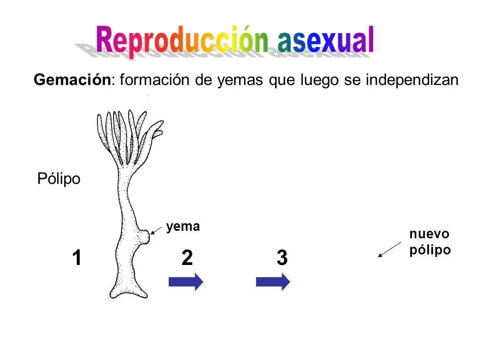 Gemación: formación de yemas que luego se independizan Pólipo 123 yema nuevo pólipo