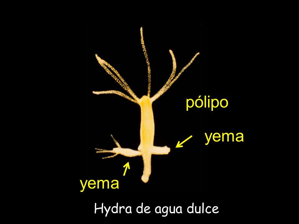 Hydra de agua dulce yema pólipo yema