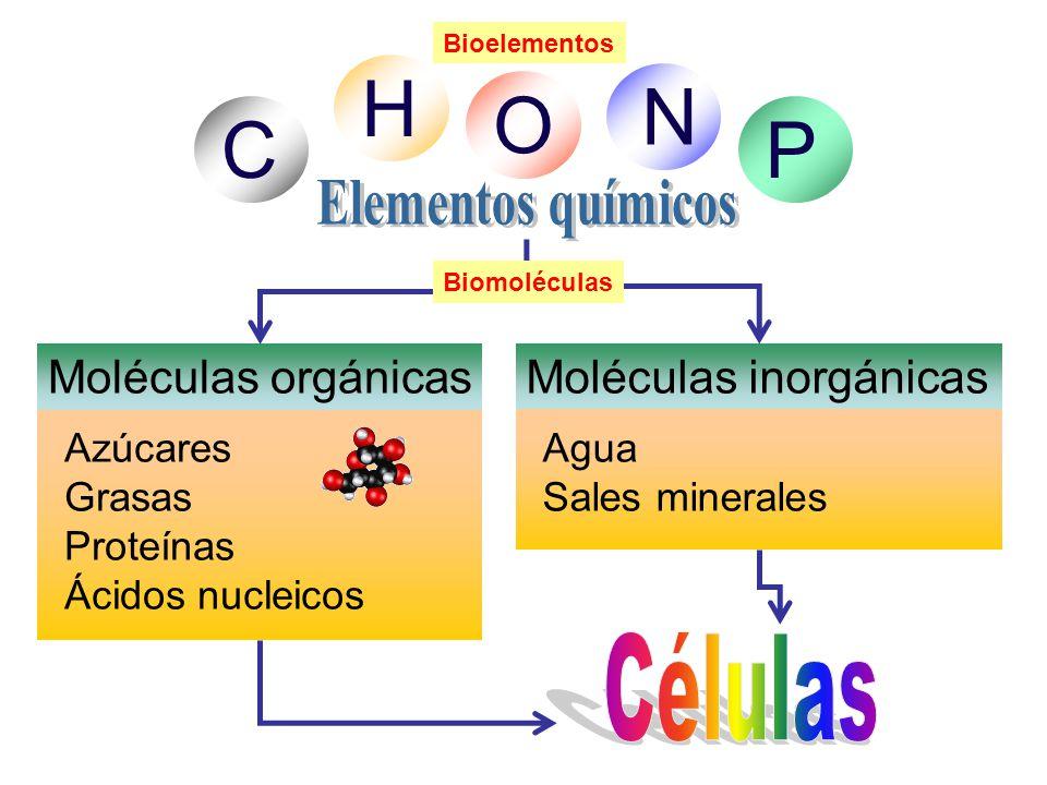 C H O N P Moléculas orgánicas Azúcares Grasas Proteínas Ácidos nucleicos Moléculas inorgánicas Agua Sales minerales Biomoléculas Bioelementos