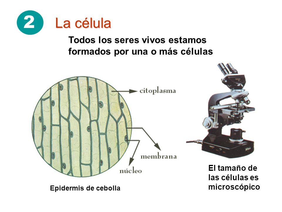 2 La célula El tamaño de las células es microscópico Todos los seres vivos estamos formados por una o más células Epidermis de cebolla