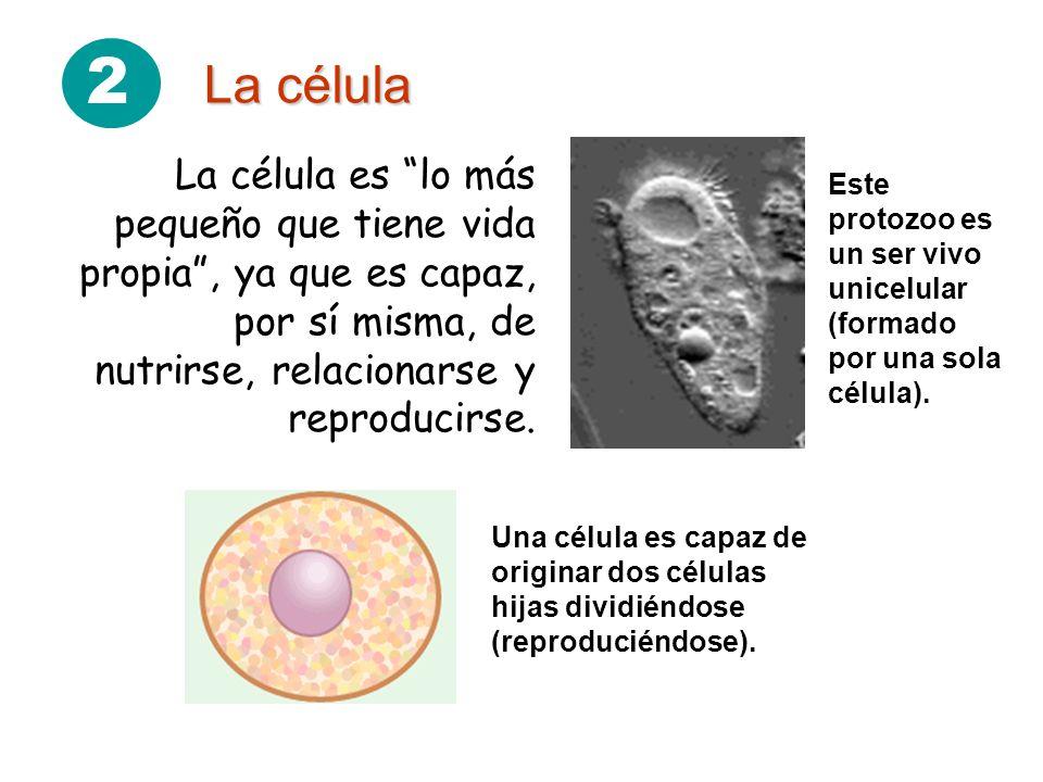 2 La célula La célula es lo más pequeño que tiene vida propia, ya que es capaz, por sí misma, de nutrirse, relacionarse y reproducirse. Este protozoo
