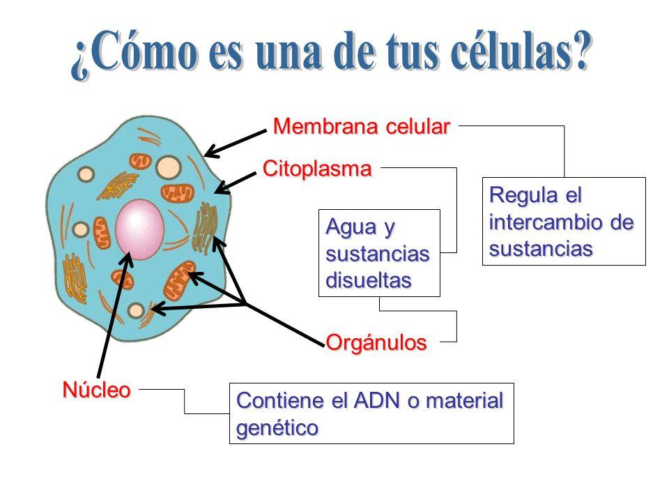 Agua y sustancias disueltas Membrana celular Citoplasma Núcleo Contiene el ADN o material genético Regula el intercambio de sustancias Orgánulos