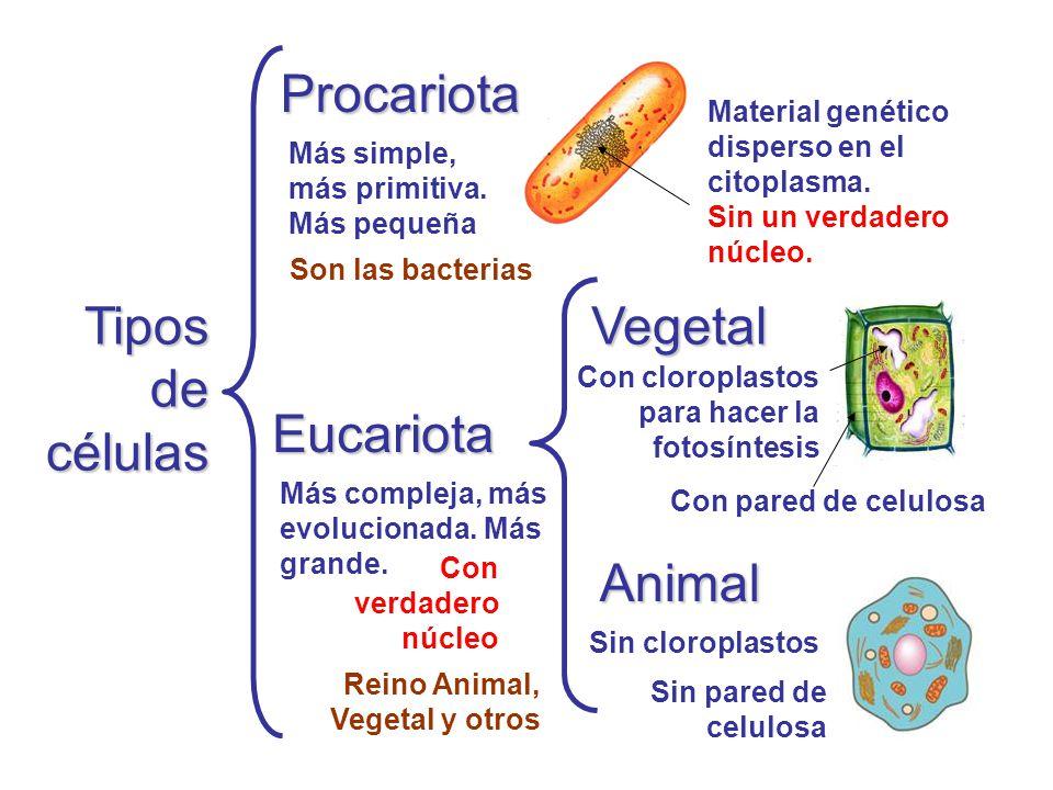 Tipos de células Procariota Eucariota Animal Vegetal Más simple, más primitiva. Más pequeña Más compleja, más evolucionada. Más grande. Material genét
