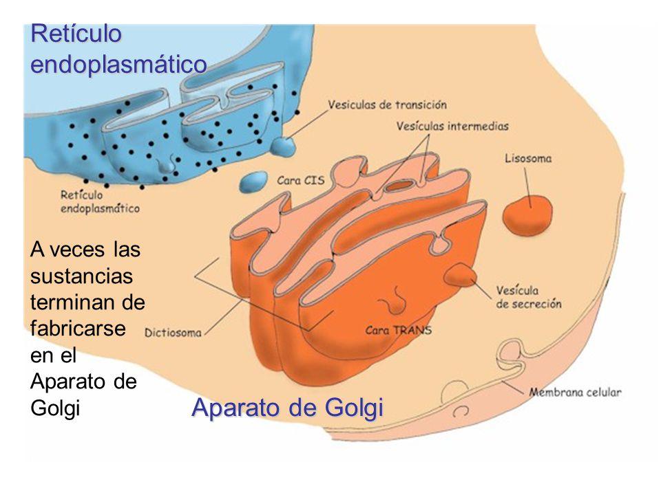 Retículo endoplasmático Aparato de Golgi A veces las sustancias terminan de fabricarse en el Aparato de Golgi