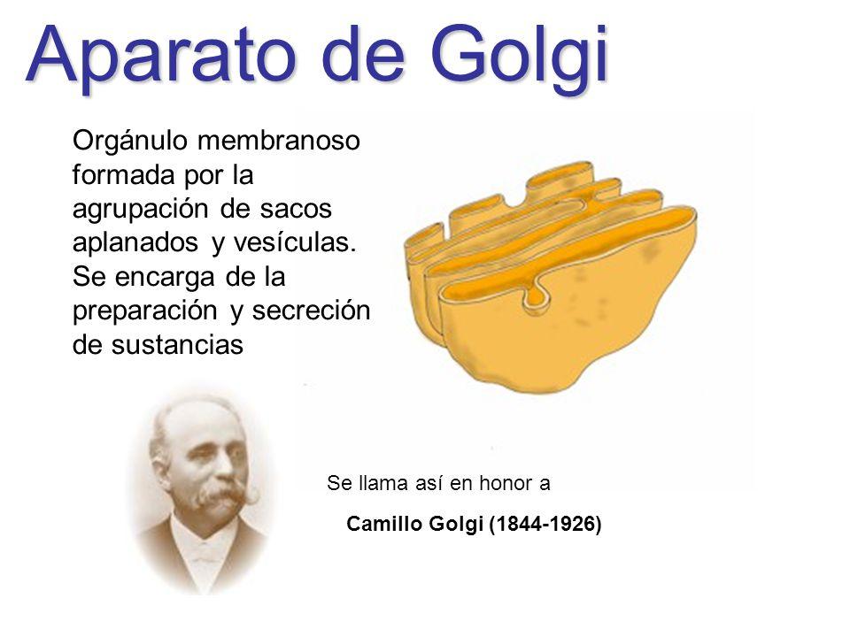 Aparato de Golgi Camillo Golgi (1844-1926) Orgánulo membranoso formada por la agrupación de sacos aplanados y vesículas. Se encarga de la preparación