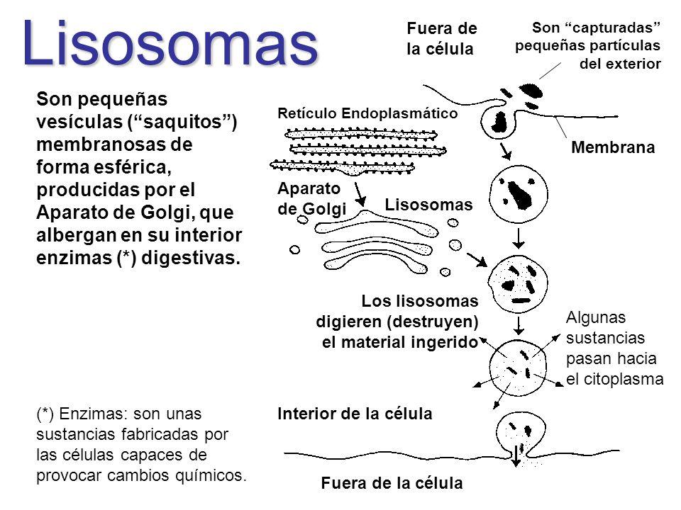 Lisosomas Son pequeñas vesículas (saquitos) membranosas de forma esférica, producidas por el Aparato de Golgi, que albergan en su interior enzimas (*)