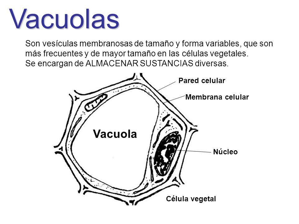Vacuolas Son vesículas membranosas de tamaño y forma variables, que son más frecuentes y de mayor tamaño en las células vegetales. Se encargan de ALMA