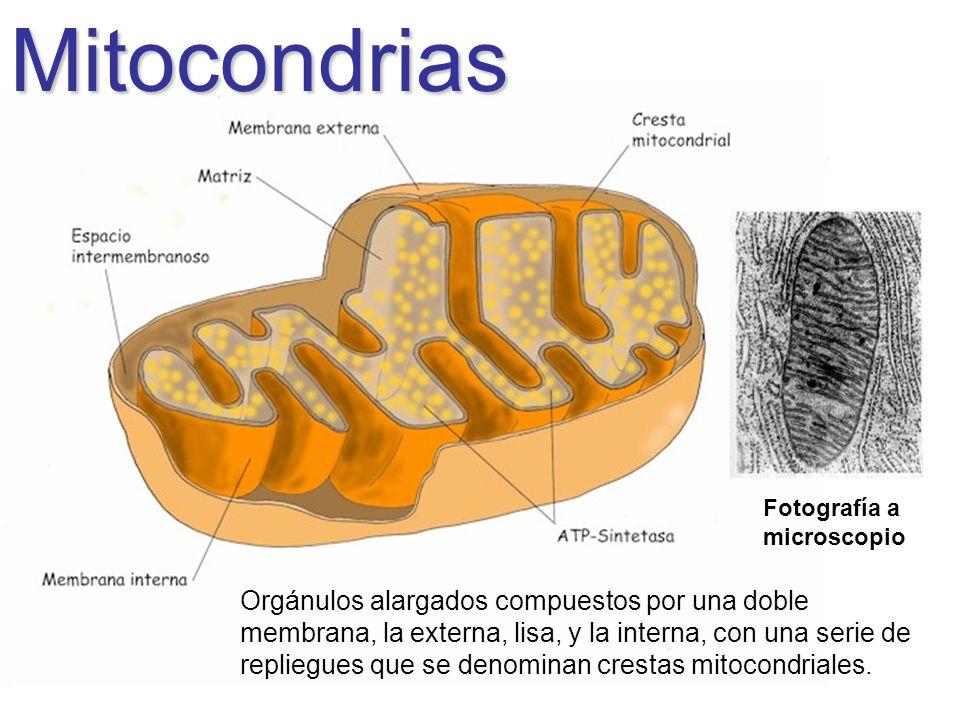 Mitocondrias Fotografía a microscopio Orgánulos alargados compuestos por una doble membrana, la externa, lisa, y la interna, con una serie de repliegu