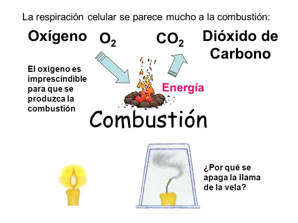 Combustión Dióxido de Carbono Oxígeno O2O2 CO 2 Energía El oxígeno es imprescindible para que se produzca la combustión La respiración celular se pare