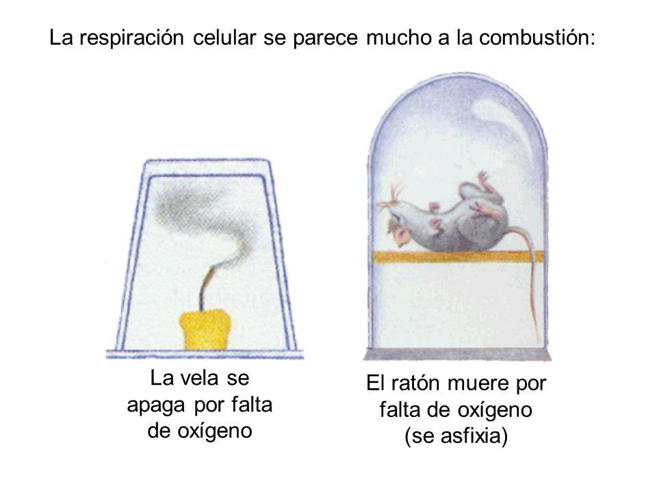 La vela se apaga por falta de oxígeno La respiración celular se parece mucho a la combustión: El ratón muere por falta de oxígeno (se asfixia)