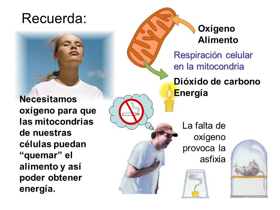 Oxígeno Alimento Recuerda: Necesitamos oxígeno para que las mitocondrias de nuestras células puedan quemar el alimento y así poder obtener energía. Re