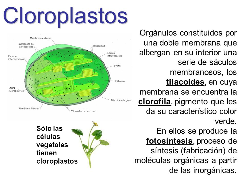 Cloroplastos Orgánulos constituidos por una doble membrana que albergan en su interior una serie de sáculos membranosos, los tilacoides, en cuya membr