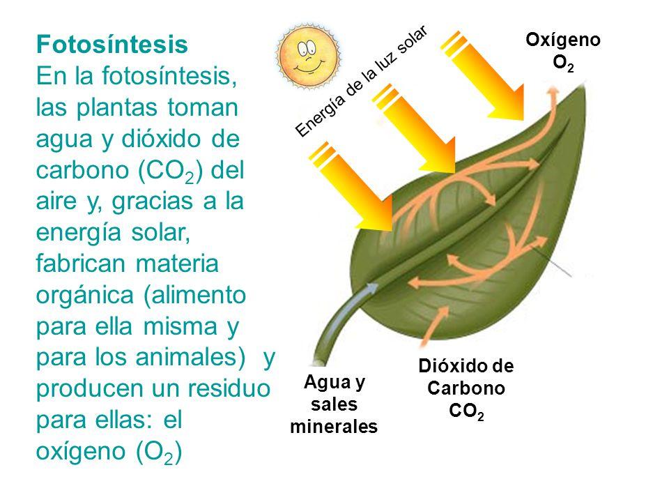 Fotosíntesis En la fotosíntesis, las plantas toman agua y dióxido de carbono (CO 2 ) del aire y, gracias a la energía solar, fabrican materia orgánica