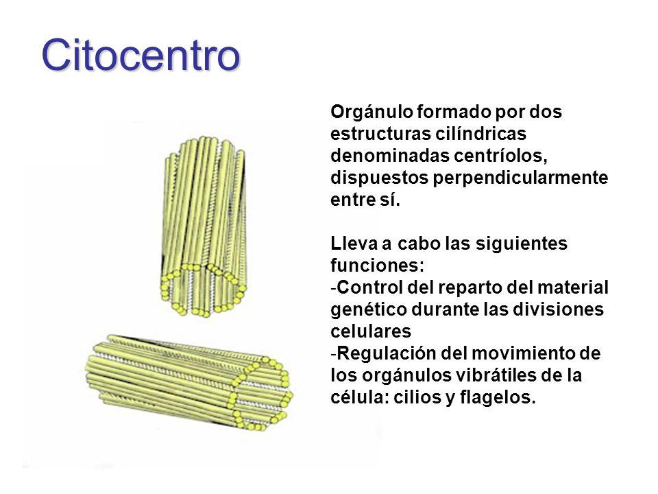 Citocentro Orgánulo formado por dos estructuras cilíndricas denominadas centríolos, dispuestos perpendicularmente entre sí. Lleva a cabo las siguiente