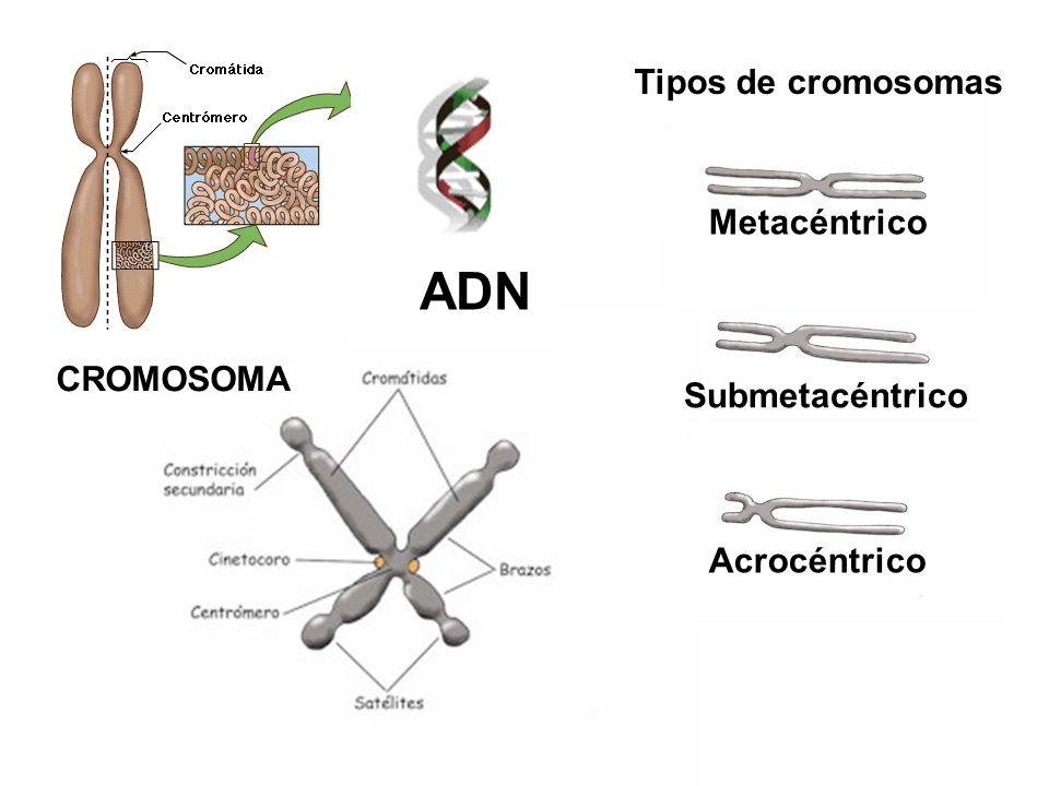 ADN CROMOSOMA Tipos de cromosomas Metacéntrico Submetacéntrico Acrocéntrico