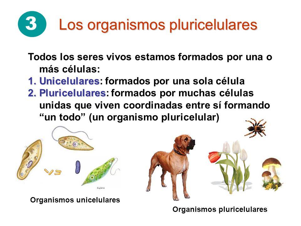 3 Los organismos pluricelulares Organismos pluricelulares Organismos unicelulares Todos los seres vivos estamos formados por una o más células: 1.Unic