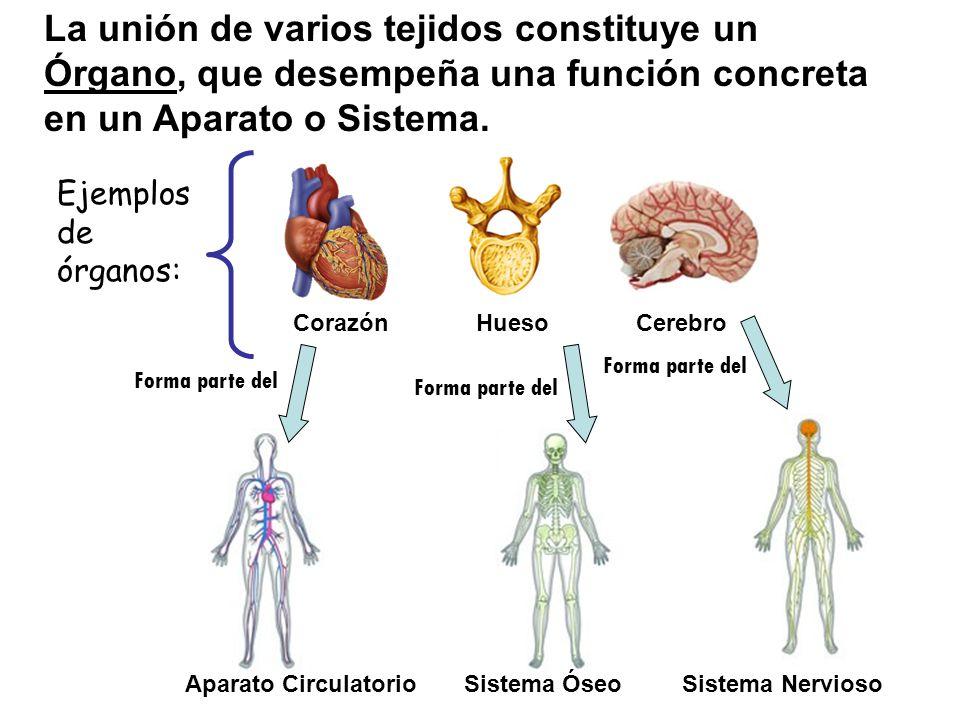 La unión de varios tejidos constituye un Órgano, que desempeña una función concreta en un Aparato o Sistema. Ejemplos de órganos: Corazón Hueso Cerebr