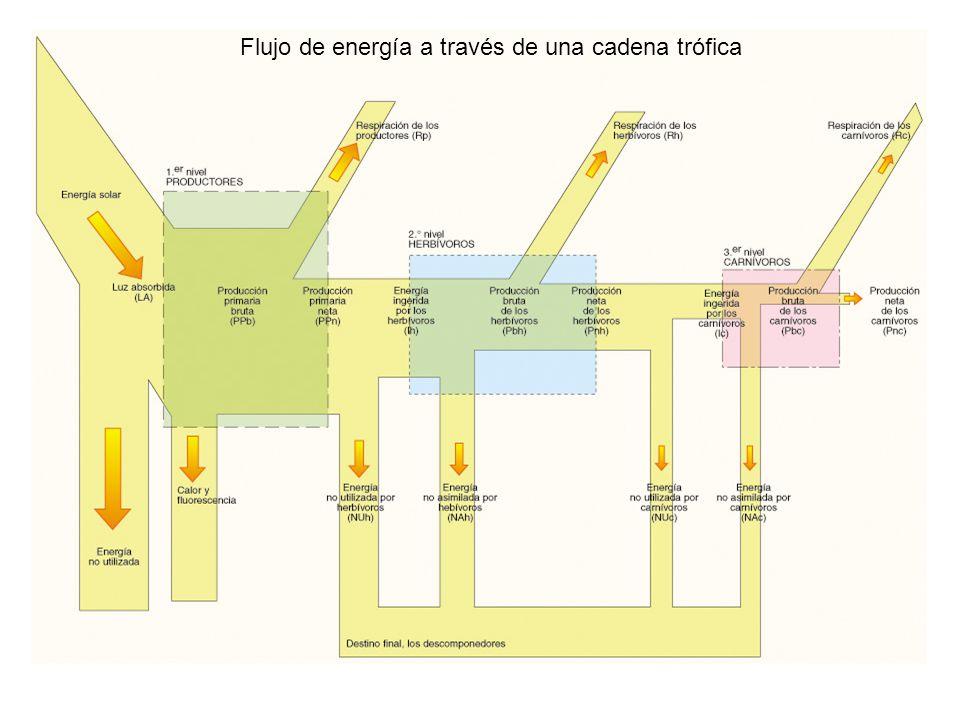 Flujo de energía a través de una cadena trófica