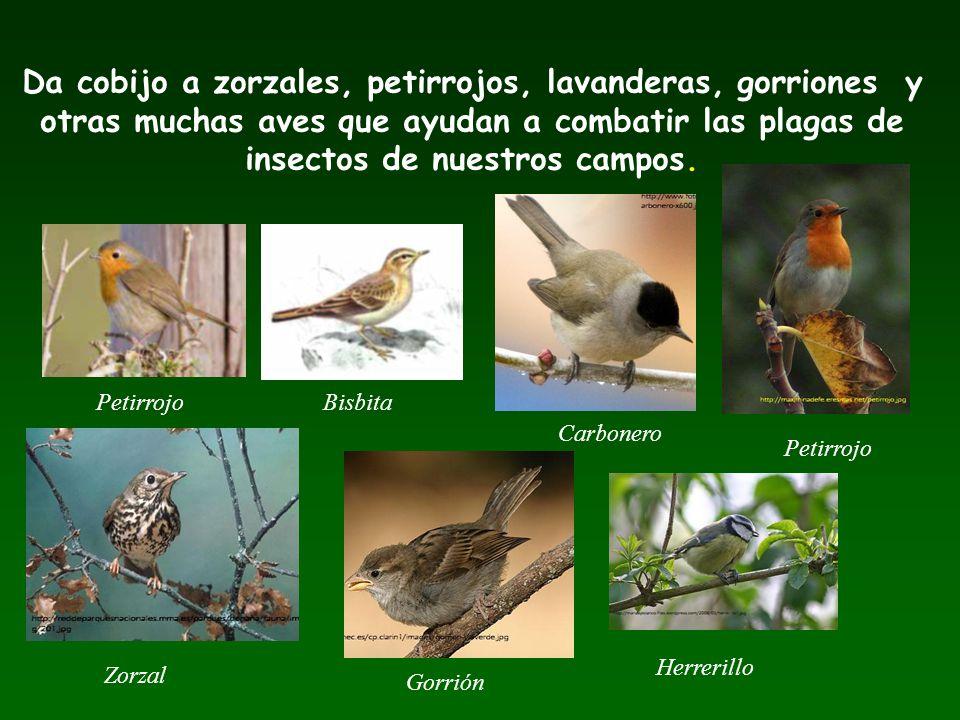 Da cobijo a zorzales, petirrojos, lavanderas, gorriones y otras muchas aves que ayudan a combatir las plagas de insectos de nuestros campos. BisbitaPe
