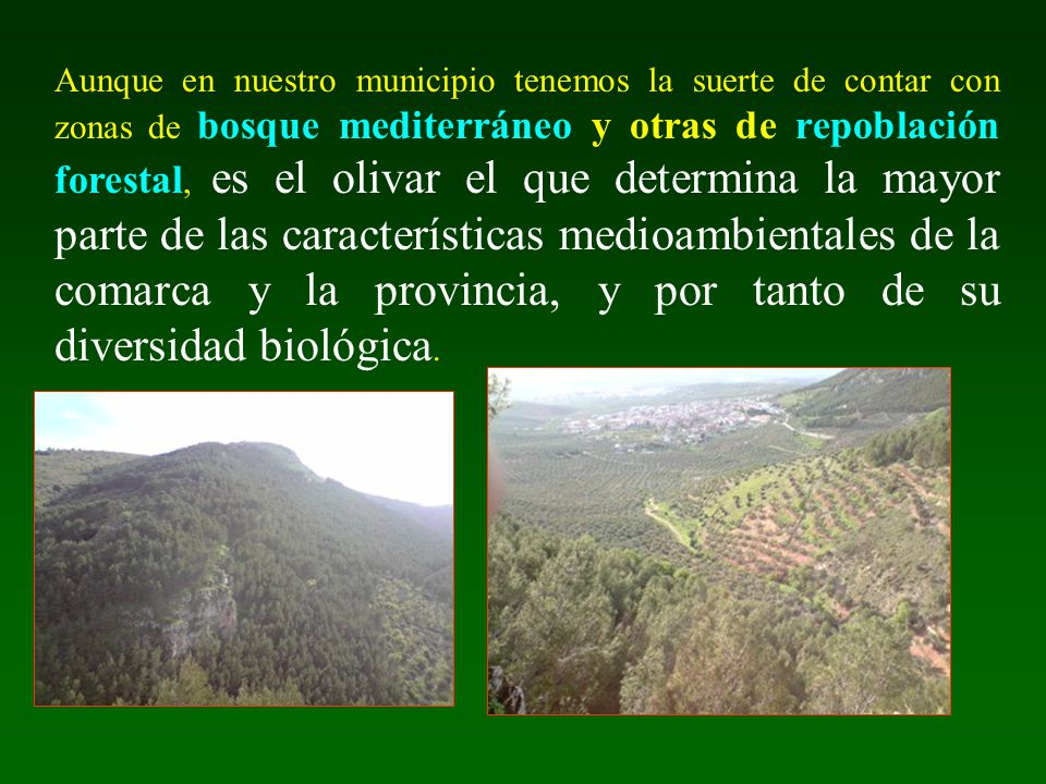 Aunque en nuestro municipio tenemos la suerte de contar con zonas de bosque mediterráneo y otras de repoblación forestal, es el olivar el que determin