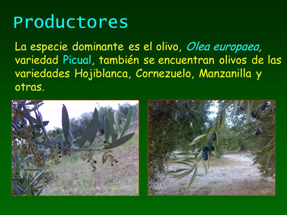 La especie dominante es el olivo, Olea europaea, variedad Picual, también se encuentran olivos de las variedades Hojiblanca, Cornezuelo, Manzanilla y