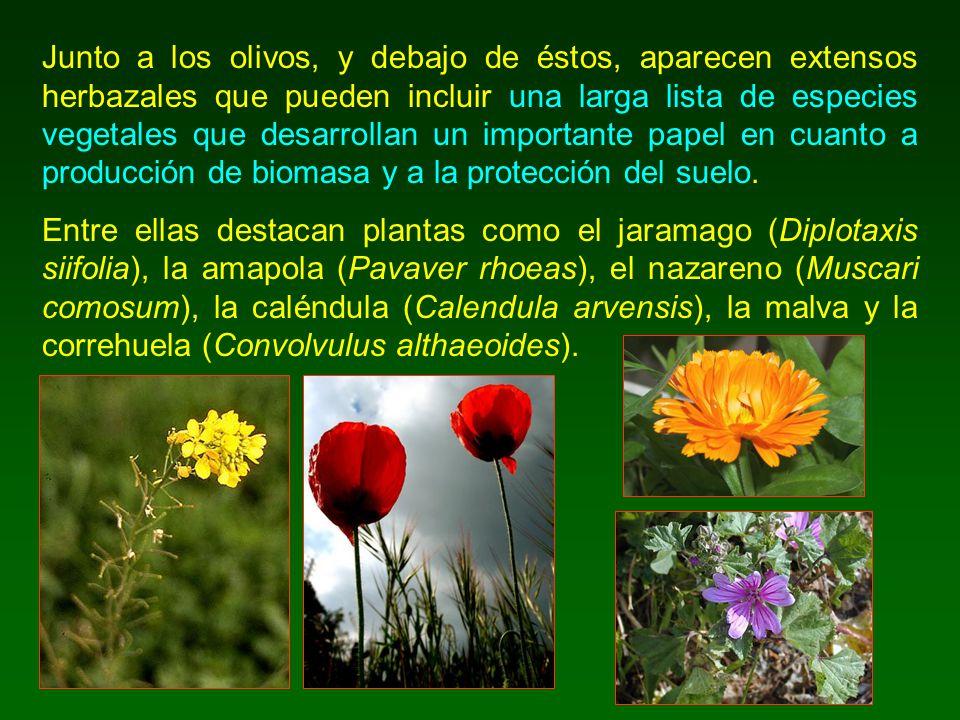 Junto a los olivos, y debajo de éstos, aparecen extensos herbazales que pueden incluir una larga lista de especies vegetales que desarrollan un import