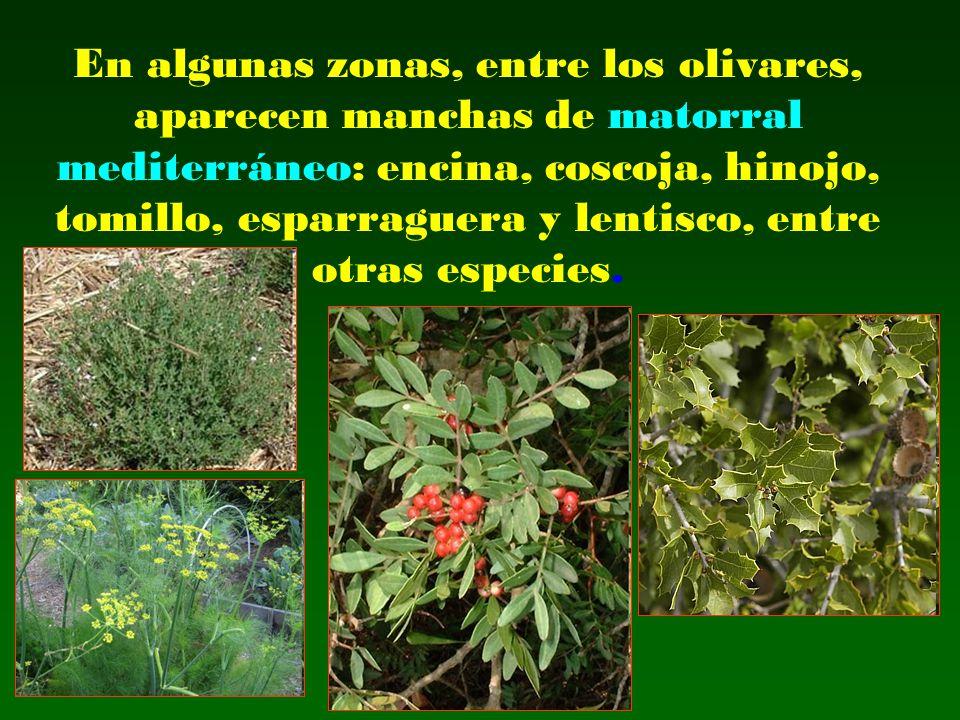 En algunas zonas, entre los olivares, aparecen manchas de matorral mediterráneo: encina, coscoja, hinojo, tomillo, esparraguera y lentisco, entre otra