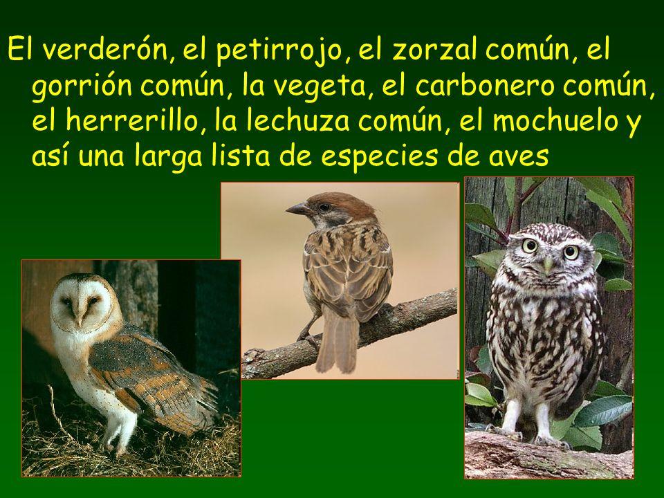 El verderón, el petirrojo, el zorzal común, el gorrión común, la vegeta, el carbonero común, el herrerillo, la lechuza común, el mochuelo y así una la