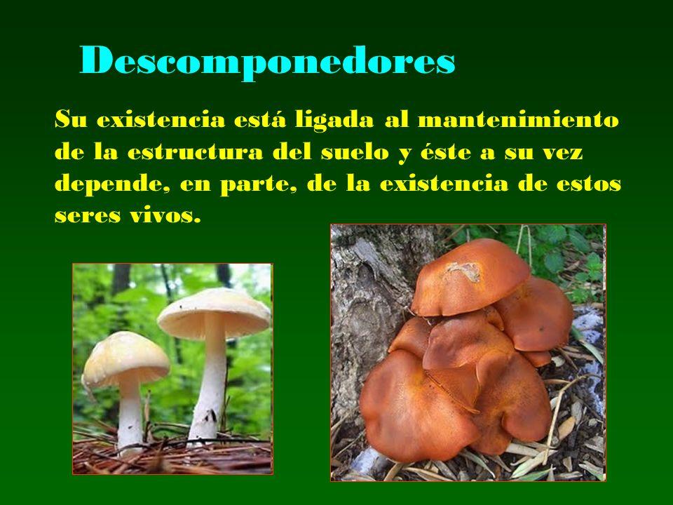 Descomponedores Su existencia está ligada al mantenimiento de la estructura del suelo y éste a su vez depende, en parte, de la existencia de estos ser