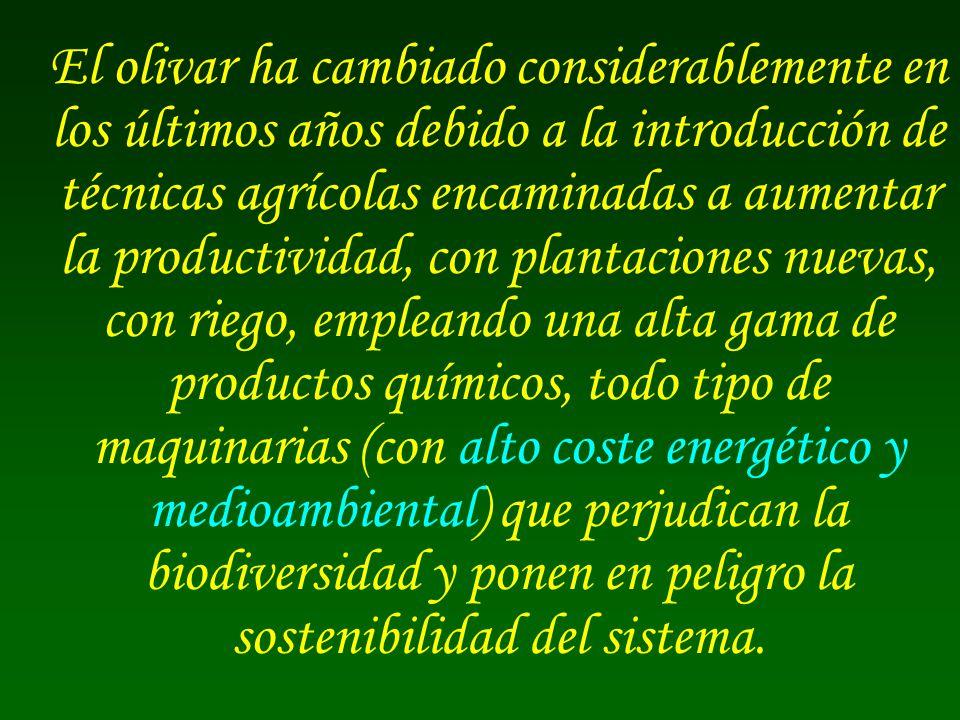 El olivar ha cambiado considerablemente en los últimos años debido a la introducción de técnicas agrícolas encaminadas a aumentar la productividad, co