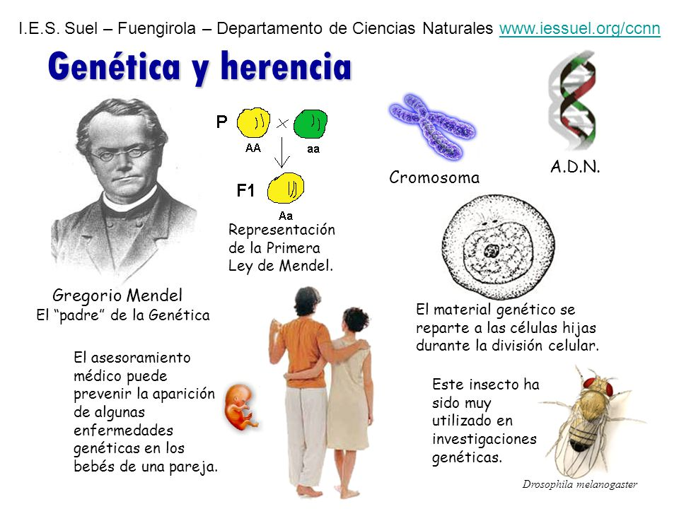 I.E.S. Suel – Fuengirola – Departamento de Ciencias Naturales www.iessuel.org/ccnnwww.iessuel.org/ccnn Genética y herencia Gregorio Mendel Cromosoma A