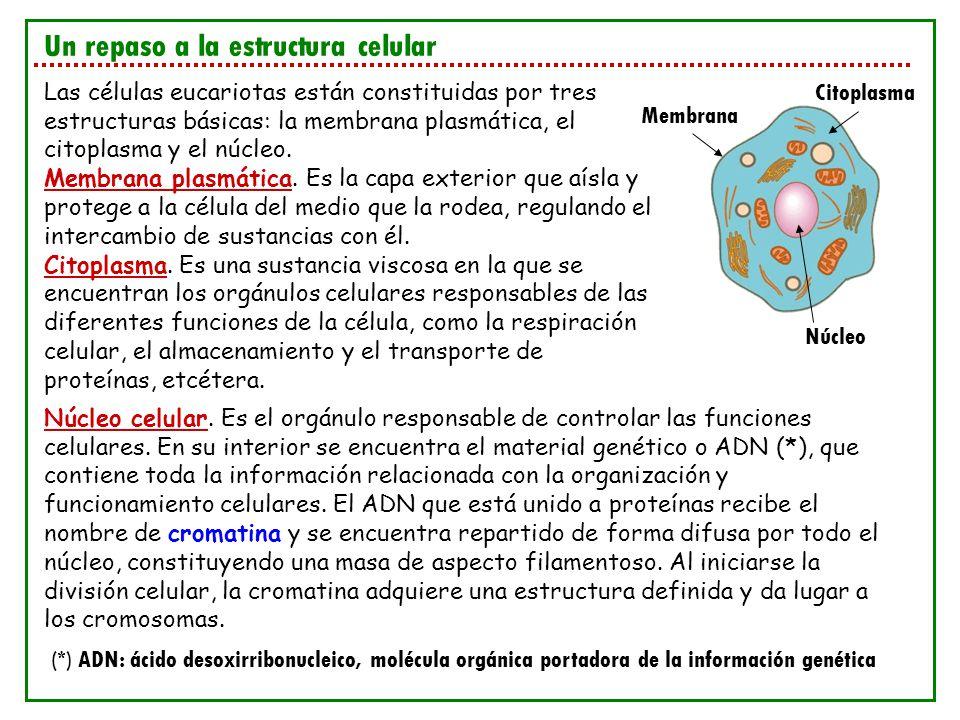 Un repaso a la estructura celular Las células eucariotas están constituidas por tres estructuras básicas: la membrana plasmática, el citoplasma y el n