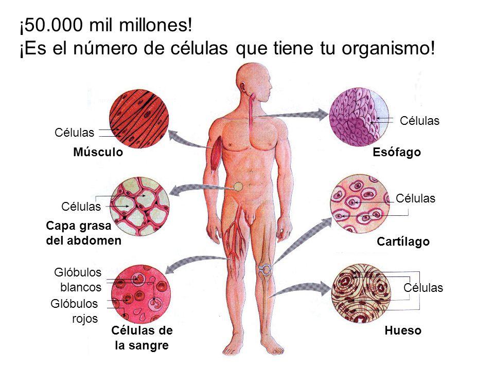 Células Células de la sangre Glóbulos blancos Glóbulos rojos Músculo Capa grasa del abdomen Esófago Cartílago Hueso ¡50.000 mil millones! ¡Es el númer