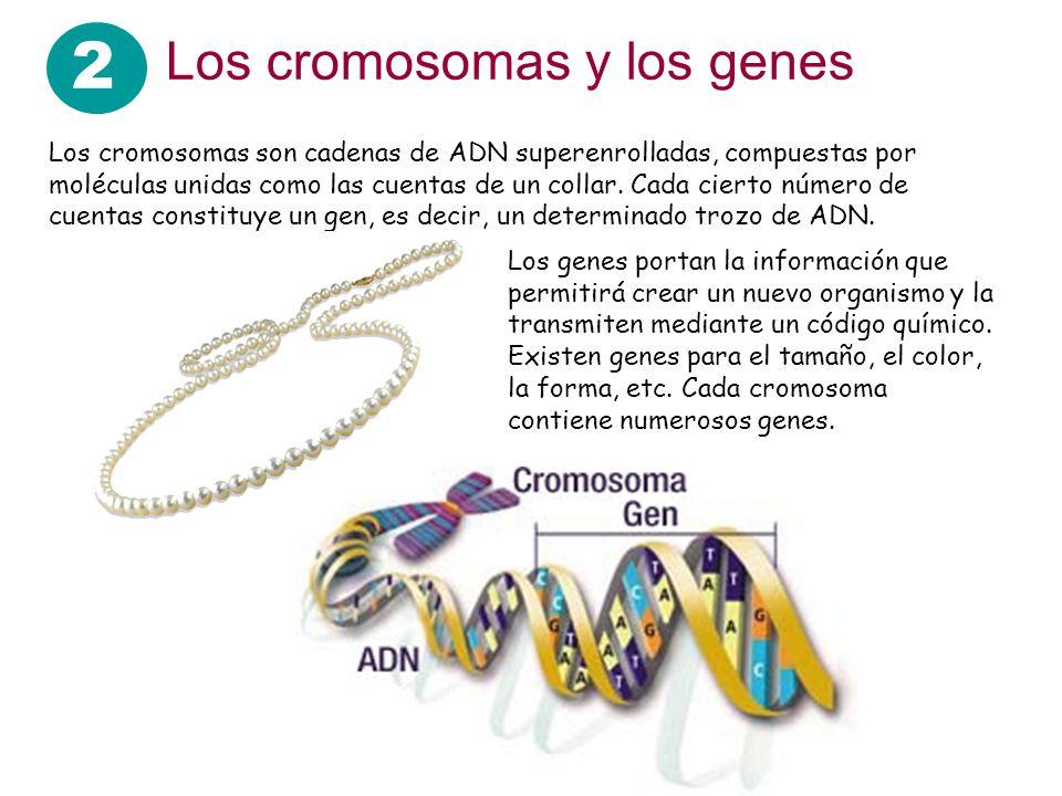 2 Los cromosomas y los genes Los cromosomas son cadenas de ADN superenrolladas, compuestas por moléculas unidas como las cuentas de un collar. Cada ci