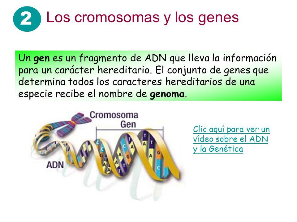 2 Los cromosomas y los genes Un gen es un fragmento de ADN que lleva la información para un carácter hereditario. El conjunto de genes que determina t