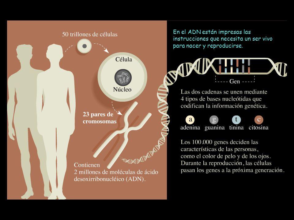 En el ADN están impresas las instrucciones que necesita un ser vivo para nacer y reproducirse.