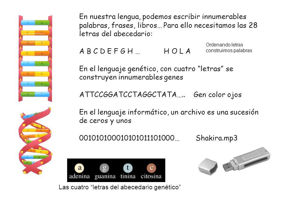 En nuestra lengua, podemos escribir innumerables palabras, frases, libros… Para ello necesitamos las 28 letras del abecedario: A B C D E F G H … H O L